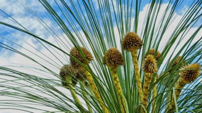 Waar komt de naam 'Grasboom' vandaan?